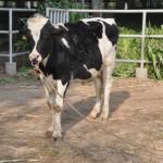 HF Bull | Hybrid Bull